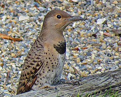 Female Northern Flicker (5of7) Tags: northernflicker colaptesauratus bird northamerica woodpecker migrate yellowhammer clape gafferwoodpecker harrywicket heighho wakeup walkup wickup yarrup gawkerbird animalia chordata aves piciformes picidae colaptes animal wild excellent fav 7fav