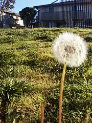 2016-Wish Photo By David Cummings-01 (David Cummings62) Tags: elcajon ca calif california wish flower photoby david dave cummings 2016