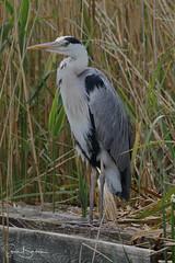 Heron 1 20170602 (Steve TB) Tags: norfolk norfolkbroads canon eos7dmarkii riverbure horning bird heron greyheron