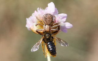 Xysticus bifasciatus with large shaggy bee