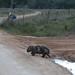 2017.05.28.17.10.57-Mangy wombat