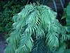 Wollemia Nobilis. 04.06.2011 (NashiraExoticGarden) Tags: wollemianobilis exoticgarden exotentuin 04062011