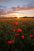 Champ de blé fleuri par des coquelicots (Sébastien Mathieu) Tags: fleurs coquelicots pavots coucher de soleil sunset blé crépuscule