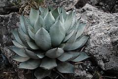 big and succulent (Nick-L) Tags: succulent ibiza jpeg