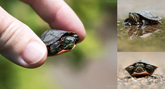 painted turtle triptych (marianna_a.) Tags: painted turtle reptile tiny hatchling baby young spring bokeh triptych mariannaarmata cute