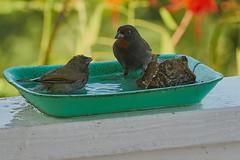 Lesser Antillean Bullfinch & Black-faced Grassquit (ronmcmanus1) Tags: antigua bird nature outdoors wildlife jollyharbour stmarysparish antiguabarbuda
