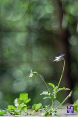 SPONTANEA (Lace1952) Tags: fioreviolettatricolor violettaspontanea bolle sfocato bokeh panasonic lumix pancolar50mm