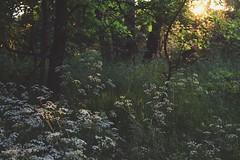 Nights are warm and the days are young (JíťaUtlänning) Tags: nature evening eveninglight czechrepublic grass tallgrass trees canon plants
