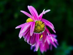 1 Beautifully Defective (Robert Cowlishaw (Mertonian)) Tags: pink red depth canonpowershotg7xmarkii robertcowlishaw mertonian markii g7x powershot canon messedup soft deepseeksdeep green yellow pinkandwhite petals flower defective