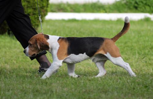 Beagle at dog show