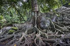 Sacred tree (tmeallen) Tags: ceibatree aerialroots sacredtree ancienttree rootsgrowingoverrocks jungle ceremonialscarf fadedcloth goagajah rivervalley ubud bali indonesia