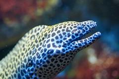 Murène léopard (rondoudou87) Tags: pentax k1 aquarium limousin murène léopard water eau mer sea bokeh color couleur close closer océan