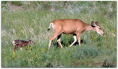 It's that time again ... (ctofcsco) Tags: canon colorado coloradosprings explore northamerica usa muledeer fawn female baby infant cute adorable pretty animal s110 powershot canonpowershots110 f71 26mm iso80 1200 1200s telephoto pointandshoot nature wildlife esplora green brown explored doe