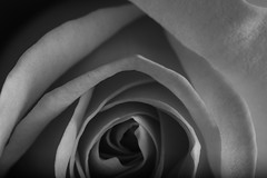Rose Shapes In Black And White (Bill Gracey 15 Million Views) Tags: rose rosa shapes blackandwhite noiretblanc blancoynegro silverefexpro offcameraflash softbox macrolens yongnuorf603n yongnuo tones garden lakeside shadows
