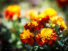 20170619000541 (koppomcolors) Tags: koppomcolors blommor flowers