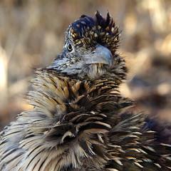 Greater Roadrunner (Geococcyx californianus).  Albuquerque, New Mexico, USA. (cbrozek21) Tags: greaterroadrunner geococcyxcalifornianus newmexico roadrunner bird nature portrait animal