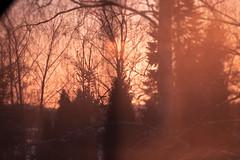 I've Dreamt (julia.e.v) Tags: forest nature trees pine sunset blur photo filter