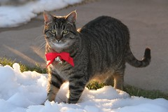 Christmas Cat (Shannon_Lund) Tags: cat kitty winter snow seasons animals cute tabby