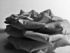 Silent Beauty In Solitude (Shazia Webster) Tags: flower rose aged monochrome solitude alone loneliness blackandwhite monotone silent beauty grace petals plant old age clean flowers nature light garden
