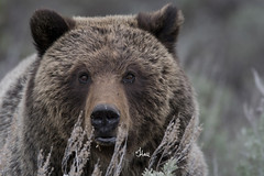 Grizzly Face - 0035 (Teagden (Jen Hall)) Tags: grizzly bear grizzlybear grizz grizzlyeyes closeup jenniferhall jenhall jenhallphotography jenhallwildlifephotography wildlifephotography wildlife photography nikon wild sagebrush naturephotography nature