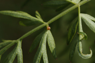 Swallowtail - Next Generation