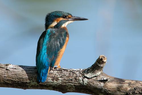 dsc 6629 Juvenile Kingfisher Male