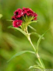 Attirer l'attention (imaginamateur) Tags: oeuillet fleur nature vert rouge