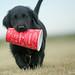 Six Days to Go... (Blazingstar) Tags: flatcoated retriever puppy tim hortons canada coffee 150 day