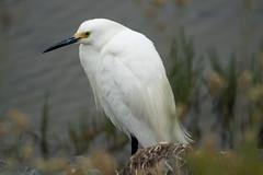 Snowy Egret (Egretta thula) (Jose Matutina) Tags: bird bolsachica california egrettathula huntingtonbeach orangecounty sel70300g snowyegret sonya6500 southerncalifornia wildlife