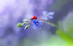 The Adventures of Ellenor  🐞🌞💜 (ElenAndreeva) Tags: flowers beauty spring color nature macro flower sun summer leaf natural cute colors insect canon pink garden magic little purple soft flora colorful sweet bug light best amazing ledybug no person