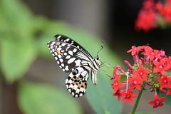 Butterfly (Bri_J) Tags: tropicalbutterflyhouse northanston sheffield southyorkshire uk yorkshire nikon d7200 butterfly macro