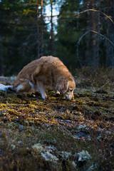 Iza golden hour portait 2 (JimmyBrandt) Tags: golden retriever d7100 portrait nikon sverige sweden forest nature portraiture