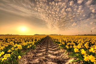 Where no daffodil dares to go.