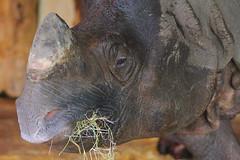 One Horned Rhinoceros, Edinburgh Zoo, March 1st 2016 (Southsea_Matt) Tags: indianrhinoceros onehornedrhinoceros rhinocerosunicornus march 2016 spring edinburghzoo lothian scotland unitedkingdom canon 60d sigma 70200mm wildlife animals