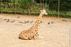 IMG_0650.jpg (wfvanvalkenburg) Tags: ouwehandsdierenpark familie giraffe