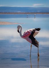 _MG_4091 (Paolo_Riquelme_Quiroz) Tags: flamenco chileno chilean flamingo laguna chaxa lagoon toconao san pedro de atacama chile aves birds altiplano phoenicopterus chilensis solo tokoko fauna nativa desierto desert canon 5d mark iii