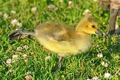 Gosling Yoga (NaturalLight) Tags: canadagoose gosling yoga chisholmcreekpark wichita kansas