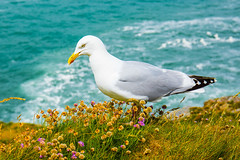 A herring Gull in the Trift. (Geordie_Snapper) Tags: canon5d3 canon2470mm cornwall june overcast portisaacportwen summer