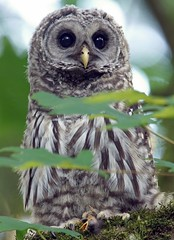 Barred Owlet (photosauraus rex) Tags: barredowlet owl strixvaria hooter vancouver bc canada owletwithbabycrow bird outdoor raptor