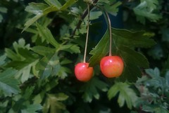 Two Means To Me (esala.kaluperuma) Tags: two pair twins fruits