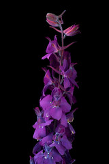 Larkspur (C. Burrows) Tags: flower larkspur glowing uvivf