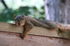 19/365/3306 (June 30, 2017) - Squirrels on Hot Days in Ann Arbor at the University of Michigan (June 29th and 30th, 2017) (cseeman) Tags: gobluesquirrels squirrels annarbor michigan animal campus universityofmichigan umsquirrels06302017 summer eating peanut juneumsquirrel umsquirrel hot pancakesquirrels 2017project365coreys yeartenproject365coreys project365 p365cs062017 356project2017 exploredcseeman foxsquirrels easternfoxsquirrels michiganfoxsquirrels universityofmichiganfoxsquirrels