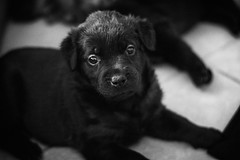Chelsea - Four Weeks & Four Days Old (sidpena) Tags: chelsea puppy angiesbaby dog canine austin texas