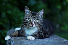 Meet Bruce (Sarah Fraser63) Tags: cats feline animals pets tabby sonya77