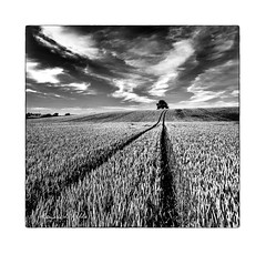 Lines and Squiggles   [Explored] (RonnieLMills) Tags: ballystockart road wheat field crop lines lone tree wiggley clouds mono bw blackandwhite blancoynegro noiretblanc farmimg agriculture crops cereal gransha explore explored 13717 9