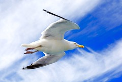 Bird in the sky. (ost_jean) Tags: bird ostjean meeuw nikon d5200 tamron sp af 1750mm f28 xr di ii vc ld aspherical if b005n sky blue heaven lucht hemel gull seagull fly animal nature