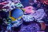 O15A2211 (kihonaqua) Tags: reeffish tridacna butterfly melanotus