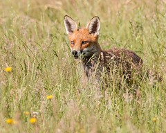 Fox in long grass (kimbenson45) Tags: animal brown differentialfocus ears female field fox green meadow nature outdoors scar shallowdepthoffield wildlife