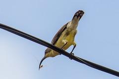 Loten's Sunbird (Afraz Anosh) Tags: cinnyrislotenius female sunbird bird telephoto wildlife nature