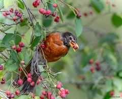 American Robin (Summerside90) Tags: bird birdwatcher americanrobin june summer backyard garden serviceberry tree fruit nature wildlife ontario canada
